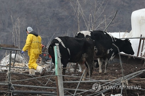 A quarantine official checks milk cows at a farm in Yeoncheon, 62 kilometers north of Seoul, on Feb. 8, 2017, where the A-type virus strain of a foot-and-mouth disease case was found. (Yonhap)