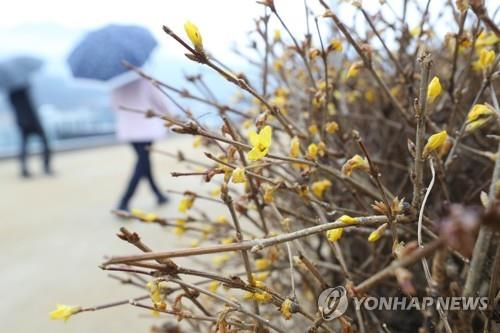This file photo taken on Jan. 6, 2020, shows spring flowers in blossom amid winter rain in Daegu, southeastern South Korea. (Yonhap)