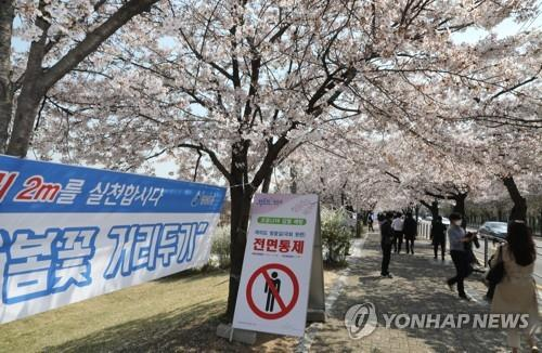 Streets filled with cherry blossoms in Yeouido, Seoul, are closed on April 6, 2020 as part of a nationwide social distancing campaign. (Yonhap)