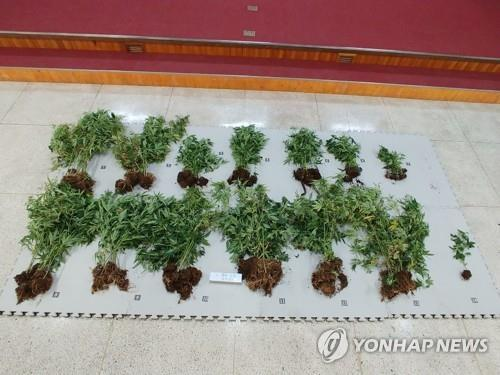 This file photo, unrelated to the article, shows cannabis, classified as an illicit drug in South Korea. (Yonhap)