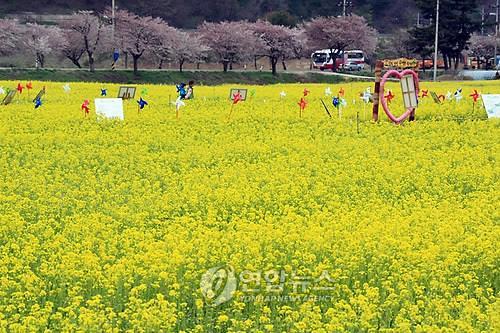 삼척 맹방 유채꽃밭
