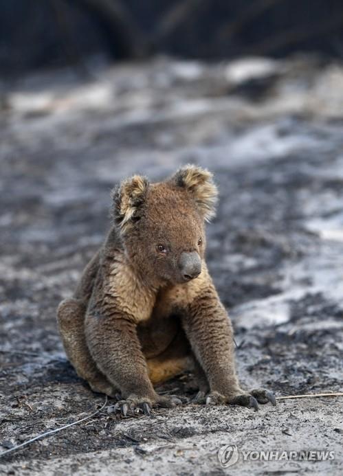 (애들레이드 EPA=연합뉴스) 산불 피해 지역인 호주 애들레이드 시 서남부 캥거루섬의 케이프 보르다 지역 인근 숲에서 지난 7일 다친 채 발견된 코알라의 모습. jsmoon@yna.co.kr