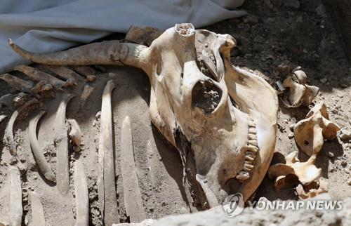 이집트 룩소르 고대 도시유적지에서 발굴된 동물의 유골