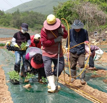 어상천 수박 모종 심기 한창