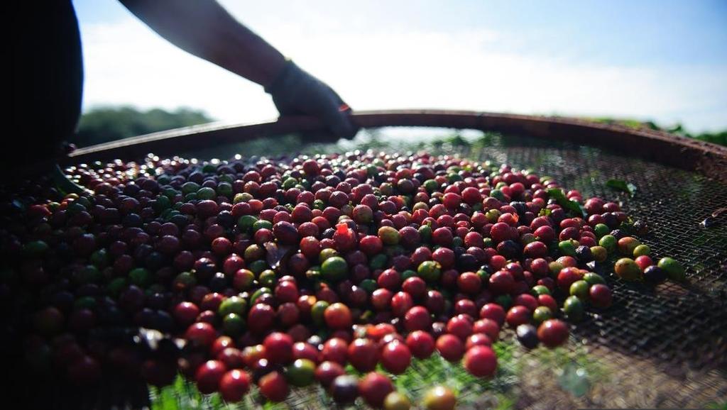 브라질산 커피 가격 급등세