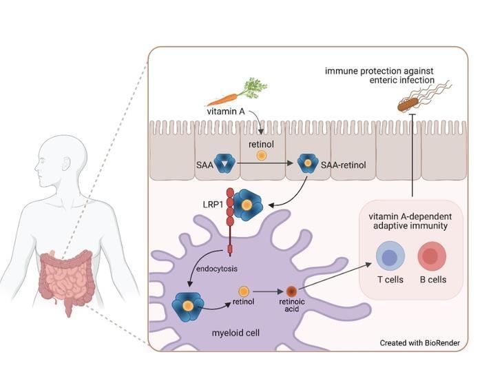레틴올이 LRP 1 수용체를 통해 장 골수세포 내로 이동하는 과정