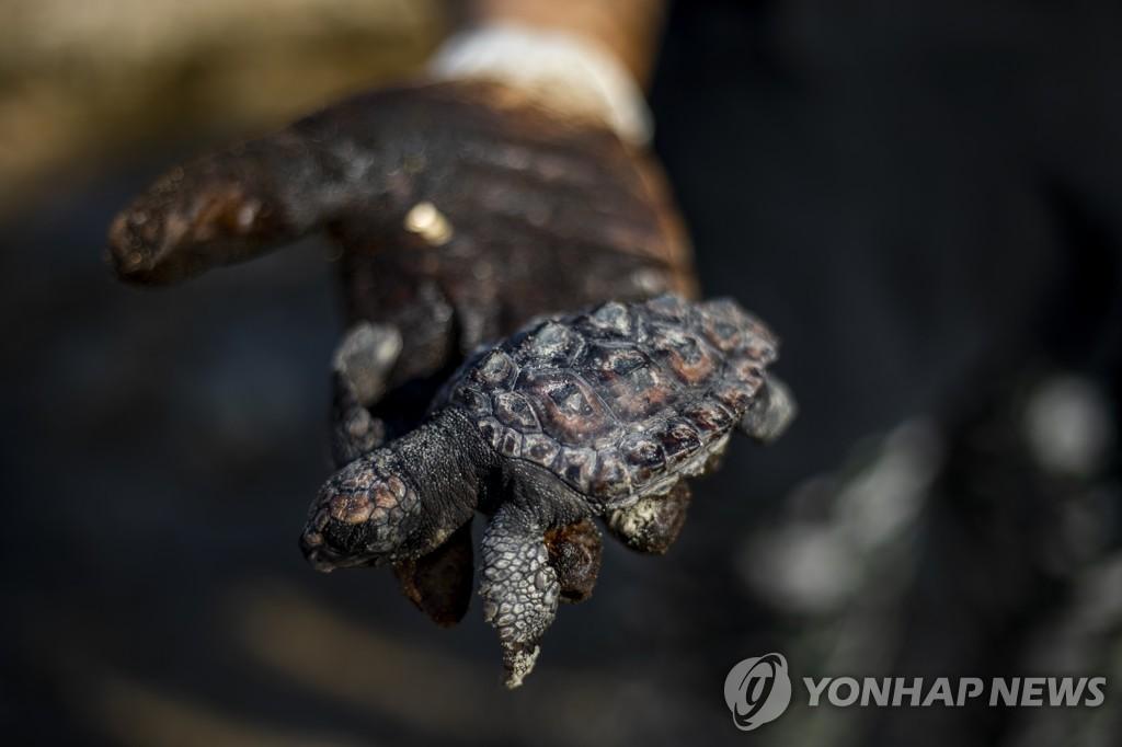 20일(현지시간) 한 바다거북이 해양 기름유출 사고가 발생한 이스라엘 지중해변에서 타르를 뒤집어쓴 채 죽어 있다.