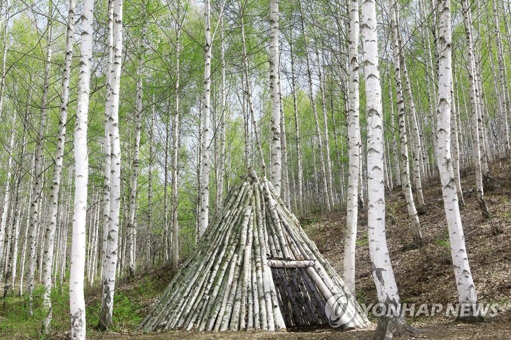 봄옷 갈아입은 인제 자작나무 숲