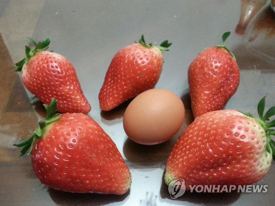 대형 딸기 '킹스베리'