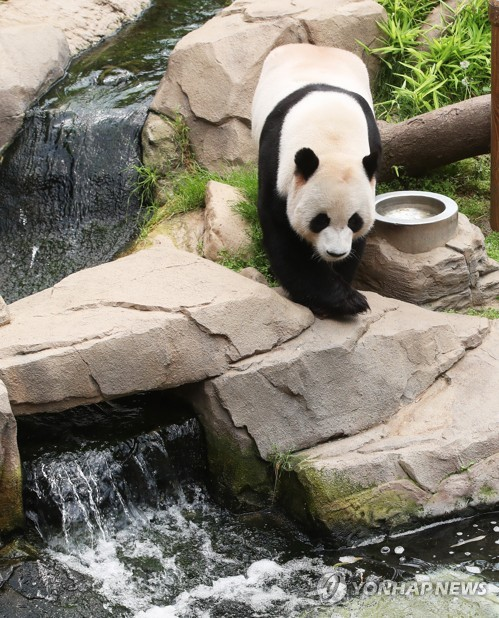 Panda amid heat wave