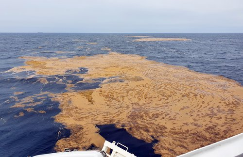 Alert on floating brown seaweed