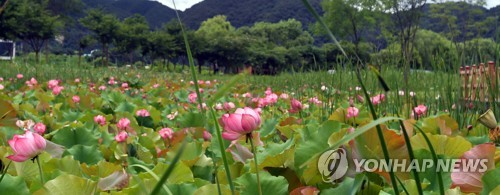 Hwacheon lotuses bloom