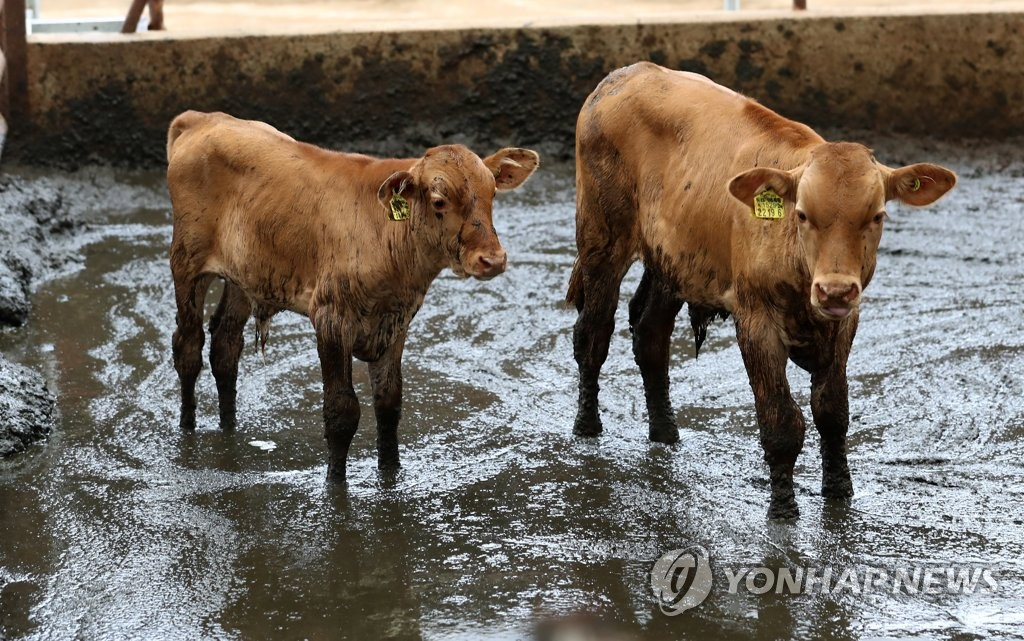 Cows are seen at a flooded cattle shed in Cheonan, South Chungcheong Province, on Aug. 4, 2020. (Yonhap)