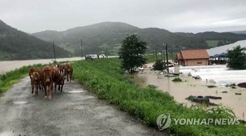 Cows run through heavy rain