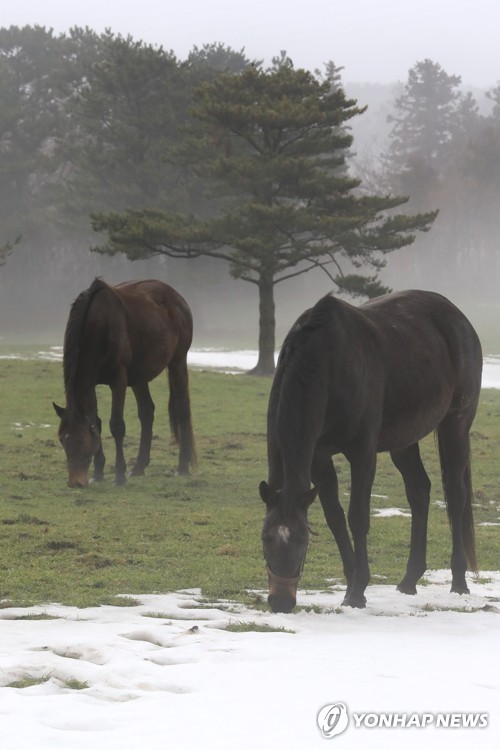 Horses grazing at pasture on Jeju Island