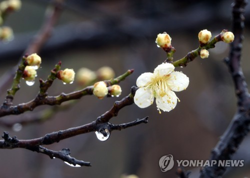 Apricot flowers in Gyeongbok Palace