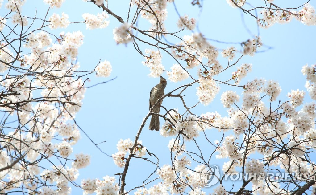 A bird sits on a branch of a cherry blossom tree in Daegu, about 300 kilometers southeast of Seoul, on March 25, 2021. (Yonhap)